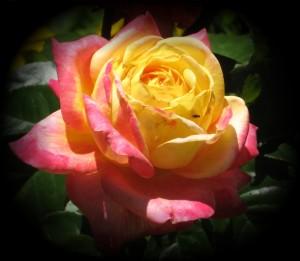 Peace-Rose1